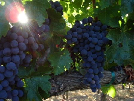 Cabernet_grapes