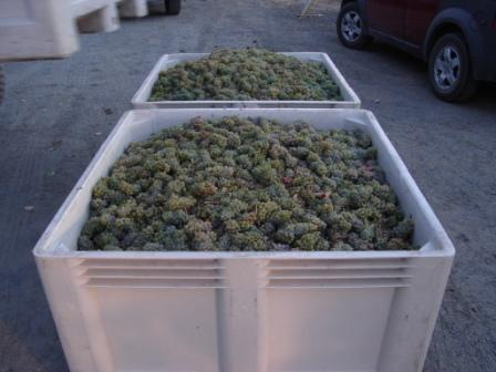 Fresh_grapes