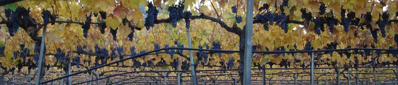 Merlot_ripe_for_the_picking