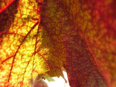 Red_leaf_1